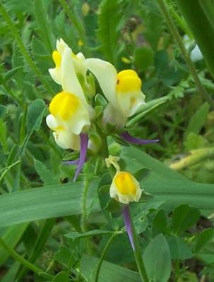 Linaria triphylla, Linajola trifogliata, Three Leaved Toadflax