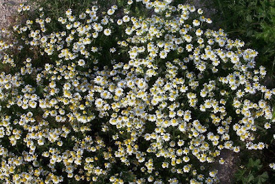 Matricaria chamomilla, blue chamomile, camomila, Camomilla comune, camomille vraie, chamomile, common chamomile, echte Kamille, German chamomile, Hungarian chamomile, Kamille, manzanilla, matricaria, scented chamomile, scented mayweed