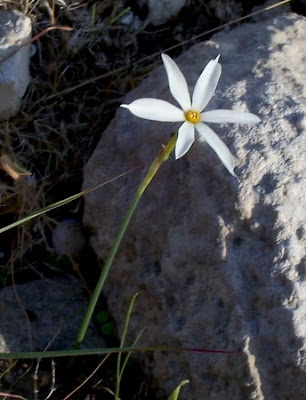 Narcissus serotinus, Narciso autunnale, Narcissus