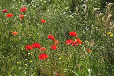 Papaver rhoeas, amapola, coquelicot, corn poppy, field poppy, Flanders poppy, Klatsch-Mohn, Papavero comune, papoila-das-searas, Rosolaccio, Shirley poppy