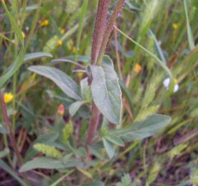 Pallenis spinosa, Asterisco spinoso