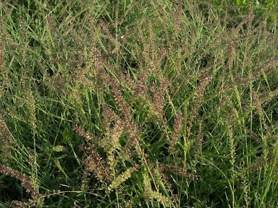 Tragus racemosus, carretes, European Bur Grass, Klettengras, Lappola, large carrot-seed grass, spike bur grass, stalked bur grass, stalked burr grass, tragus à grappes