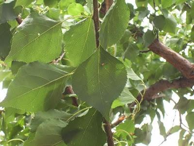 Prunus armeniaca, abricotier, abricó, albaricoque, Albicocco, apricot, Aprikose, Aprikosenbaum, Armellino, damasco, damasqueiro, damasquino, Grisomolo, Marille, Siberian apricot, xing