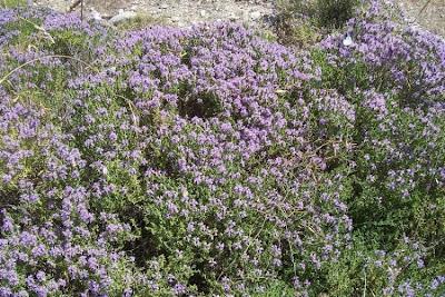 Thymus capitatus, conehead-thyme, Persian-hyssop, Spanish oregano, thymus, Timo arbustivo