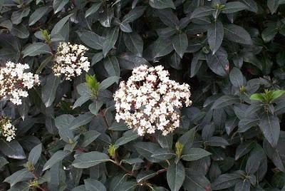 Viburnum tinus, Laurentino, laurier tin, laurustinus, Laurutinu, Lintàggini, Viburno-tino