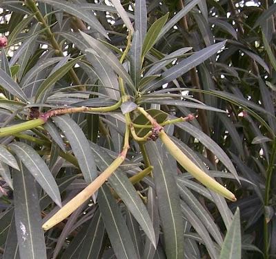 Nerium oleander, adelfa, balandre, espirradeira, kyochiku-to, laurel rosa, laurier rose, oleander, oleandre, oleandro, pascua, rose bay, rose-laurel, Rosebay, selonsroos