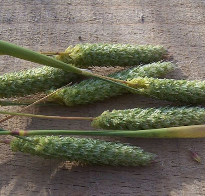 Phalaris paradoxa, alpista, alpiste paradoxal, alpiste vanillo, hood Canary grass, hood canarygrass, Mediterranean Canary Grass, Scagliola sterile