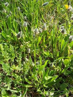 Plantago lagopus, Hare's Foot Plantain, Piantaggine piede di Lepre