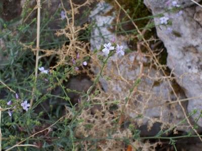 Plumbago europaea, Caprinella, Piombaggine, Plumbago
