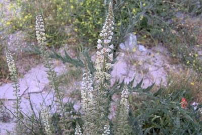 Reseda alba, Erba ruchetta, Reseda bianca, white upright mignonette