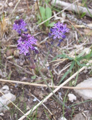 Scilla autumnalis, autumn squill, Scilla autunnale, starry-hyacinth