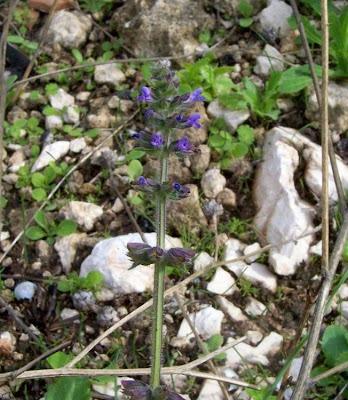 Salvia verbenaca, Eisenkraut-Salbei, Salvia minore, vervain sage, wild clary, wild sage