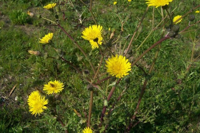 Sonchus asper, cerraja, Dornige Gänsedistel, Grespino spinoso, laiteron rude, perennial sowthistle, prickly sow thistle, prickly sowthistle, rough sow thistle, serralha-comum, serralha-áspera, Spiny Leaved Sow Thistle