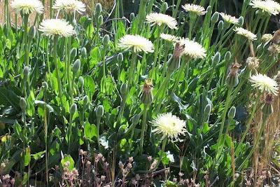 Urospermum dalechampii, Amarago, Boccione maggiore, Golden Fleece, Lattugaccio