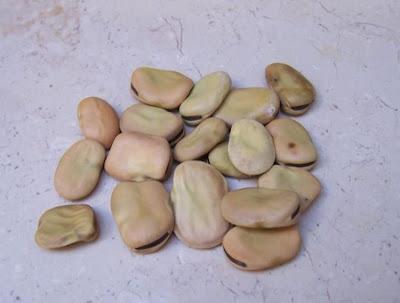 Vicia faba, bell-bean, faba-bean, Fava, fava-bean, fève, Haba, horsebean, Tick Bean