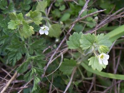 Veronica cymbalaria, gallinita blanca, glandular speedwell, Pale Speedwell, Veronica a foglie di Cimbalaria, véronique cymbalaire, Zymbelkraut-Ehrenpreis