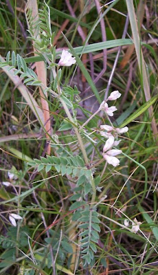 Vicia leucantha, Brown Fruited Vetch, Veccia d'Agrigento