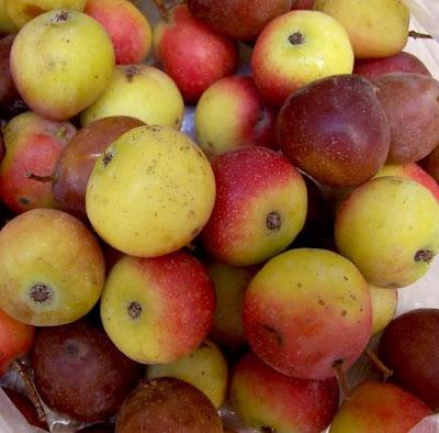 Sorbus domestica, cormier, serbal común, servicetree, Seviceberry, Sorbo comune, Sorbolo, sorveira, Speierling