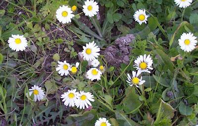 Bellis annua, Annual Daisy, Ciuriddu jancu, Pratolina annuale
