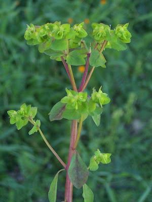 Euphorbia peplus, alfavaca-venenosa, Euforbia minore, euphorbe des jardins, Garten-Wolfsmilch, lechetrezna reduela, leiteira-de-jardim, petty spurge, ésula-redonda