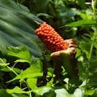 Wild taro  (seed) 野芋