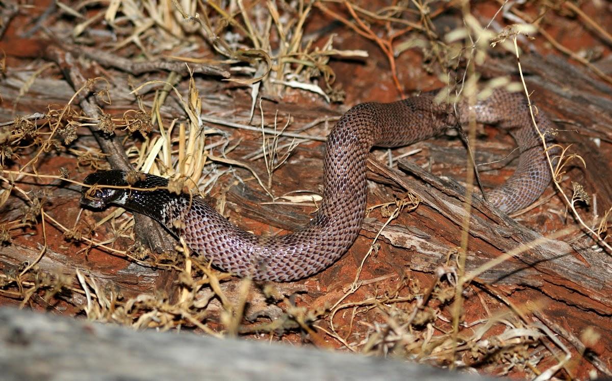 Shield-nose Snake