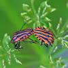 Italian Striped-Bug or Minstrel Bug