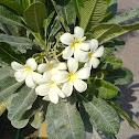 indian jasmine