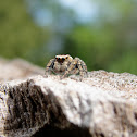 Jumping Spider (Oregon)