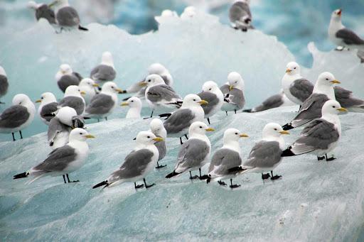 Arctic-Spitsbergen-Black-Legged-Kittiwake - Black legged kittiwake birds are spotted during a G Adventures expedition of Spitsbergen in the Svalbard islands of Norway.