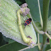 Large Milkweed Beetle