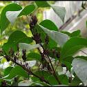 Lilac Bush w/ seed pods