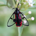 Scarlet-tipped Wasp Mimic