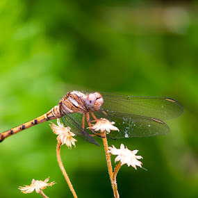 Dragon Fly Balanced by Malan Lombard - Animals Insects & Spiders ( resting, dragon fly, insect, close up, flower )