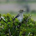 Chaffinch-female