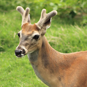 Whitetail Buck in velvet by Miranda Powers - Animals Other