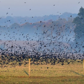 Black Birds by Richard Holcomb - Animals Birds