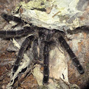 Ecuadoran pinktoe tarantula