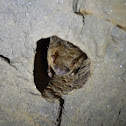 Eastern Brown Bat