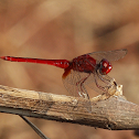 Ruddy Marsh Skimmer