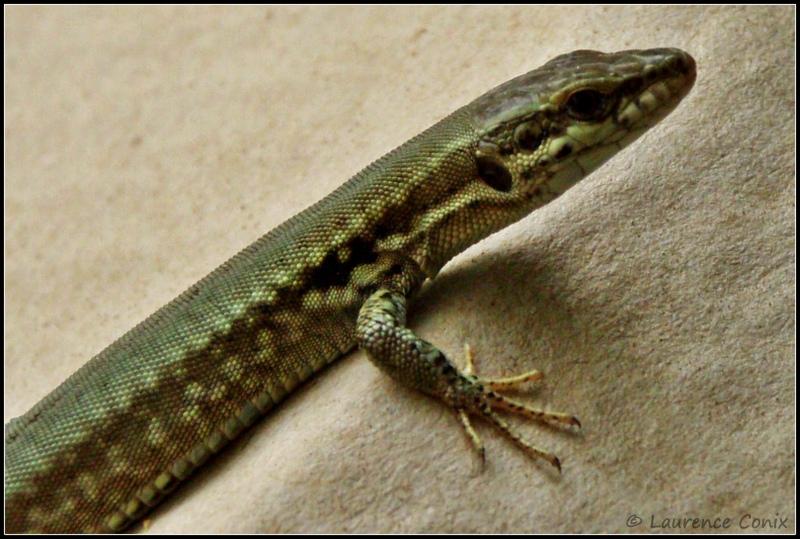 Common (European) Wall Lizard