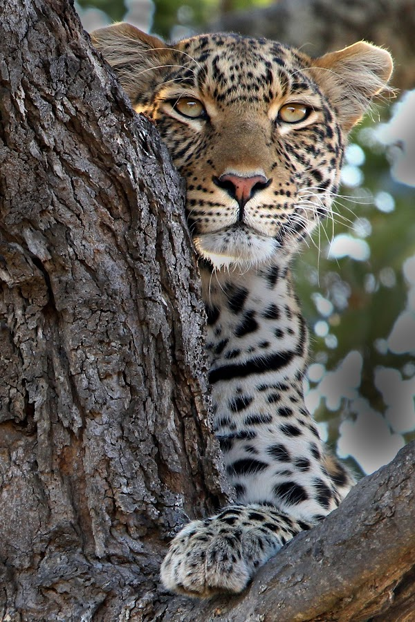 Portrait of a leopard. by Charmaine Joubert - Animals Lions, Tigers & Big Cats ( wild, kruger national park, africa, close-up, leopard,  )