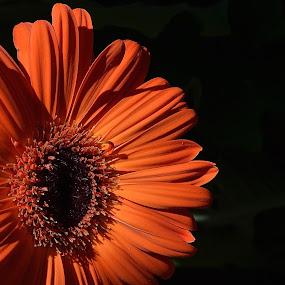 Gerbera Daisy  by Ed Hanson - Flowers Single Flower ( orange, macro, flower )