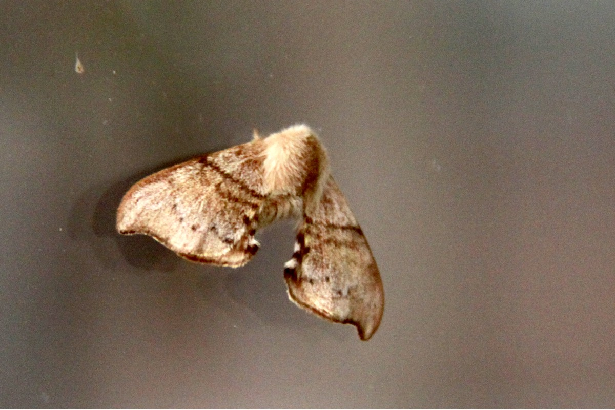 Lewin's Bag-shelter Moth