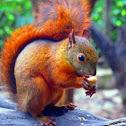 Ardilla - Squirrel