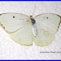 The Lemon Emigrant Butterfly