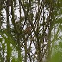 Common Nightingale, Rouxinol-comum