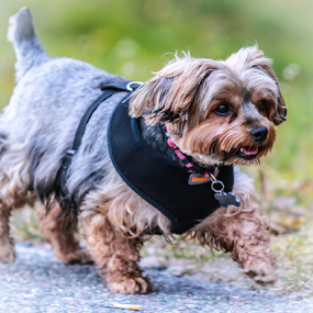 Candy by Eugene Ball - Animals - Dogs Running ( canine, cute, dog, running puppy )