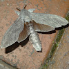 Cossid moth (♂)