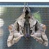 Blind-eyed Sphinx Moth